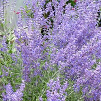 Rysk Salvia Lacey Blue
